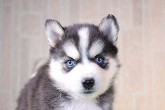 💚🐶 These precious #Pomsky puppies are a #lovable ball of fur and energy. Bring one of them home today and they will bring you heaps of joy.#Charming #PinterestPuppies #PuppiesOfPinterest #Puppy #Puppies #Pups #Pup #Funloving #Sweet #PuppyLove #Cute #Cuddly #Adorable #ForTheLoveOfADog #MansBestFriend #Animals #Dog #Pet #Pets #ChildrenFriendly #PuppyandChildren #ChildandPuppy #BuckeyePuppies www.BuckeyePuppies.com