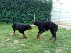 dobermann vs rottweiler