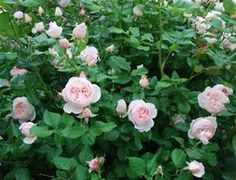 heritage david austin roses - nearly thornless