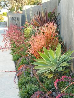 Modern Drought Tolerant Garden! I would   ALMOST be worth living in California to be able to grow these! #folsom #martelloneal #FrontGarden