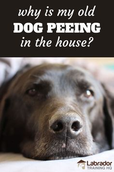 Why would your older dog suddenly start peeing in the house? What can you do to help them? How can you clean up Dog Pee, Dog Training Techniques, Dog Training Videos, Old Dogs, Dogs Peeing In House, House Breaking Dogs, Labrador Retriever, Dog Training Treats, Dog Potty