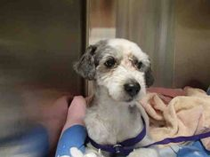 ★❥★ADOPTED★❥★~ Animal ID #A686254    ‒ My Name is TAFFY. I am a Male (Neutered), White Miniature Poodle. The shelter thinks I am about 6 years and 1 month old. I have been at the shelter since February 16, 2015.  Rancho Cucamonga Animal Care and Adoption Center  Telephone ‒ (909) 466-PETS (7387) 11780 Arrow Route Rancho Cucamonga, CA Fax: (909) 919-2698 https://www.facebook.com/OPCA.Shelter.Network.Alliance/photos/pb.481296865284684.-2207520000.1428716436./802099079871126/?type=3&theater