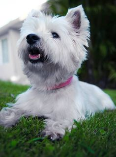 life in scale. Cairn Terrier, Terriers, West Highland White, West Highland Terrier, White Terrier, White Dogs, Westies, Beautiful Dogs, Dog Pictures
