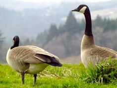 Pair of Canadian Geese by terrymillsphoto on Etsy, $12.00