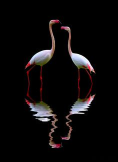 Flamingos & reflection in the water art Pretty Birds, Love Birds, Beautiful Birds, Animals Beautiful, Cute Animals, Flamingo Art, Pink Flamingos, Flora Und Fauna, Coffee And Cigarettes