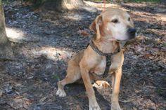 Petfinder  Adoptable | Dog | Catahoula Leopard Dog | Tampa, FL | Dundee