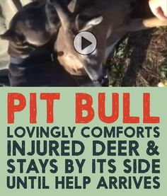 Watch as this PIT BULL lovingly comforts an injured deer and stays by its side until help arrives!