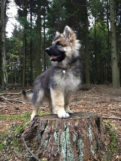 Majestic Vonthurlow German Shepherd hunter puppy