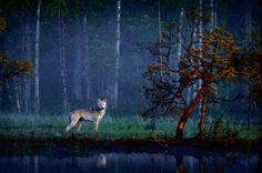 Susi/Wolf by Kai Skyttä -- Finland Bear Pictures, Nature Pictures, Animal Pictures, Majestic Animals, Animal Totems, Wild Nature, Landscape Pictures, Magical Creatures, Love Photography