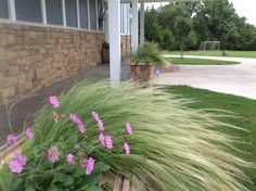 Designed By Shaun Doering Landscape Designer at TLC Garden Centers. Mexican Feather Grass with Perennial Scabiosa -Pincushion Flower.