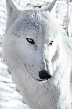 Save the wolves 💕 💕 Beautiful Dog Husky, Husky Dog