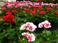 Fresh Zonal Geraniums always being restocked...