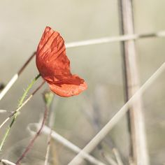 Carla Sears took this photograph of a poppy on the edge of a farmers field at Weston Hills in Baldock Hertfordshire on Wednesday. If you want your photograph to be considered for the #englandsbigpicture gallery send it to england@bbc.co.uk#england #picoftheday #photosofbritain #ukpotd #capturingbritain #poppy #flowers #field #baldock #herfordshire