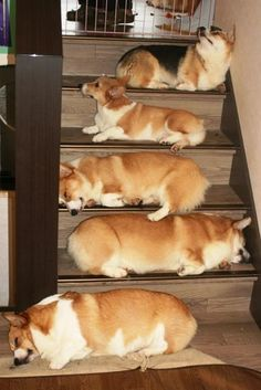 """Give us a treat, and we'll let you through."" Pembroke Welsh Corgis make a Tollbooth of the Stairs."