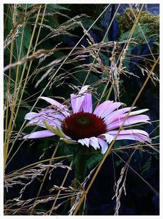 Echinacea 'Magnus' trying to hide among the grass.