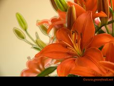 lily_orange_1024x768_large