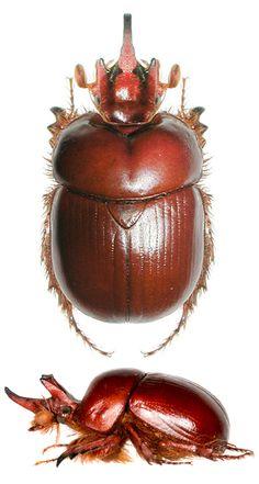 Bolborhinum tricorne
