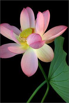 ✿ Pink flower Lotus Flower Macro - IMG_0097-800 by Bahman Farzad, via Flickr