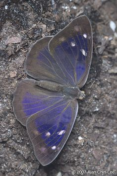 Dingy Purplewing butterfly there are small resident populations in protected subtropical hammocks in southern Miami-Dade County, Florida (particularly Deering Estate in Miami and Castellow Hammock in Homestead.