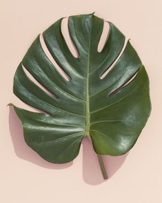 VAUX VINTAGE: Photo - monstera leaf