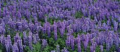 Check out this item in my Etsy shop https://www.etsy.com/listing/252344369/perennial-lupine-lupinus-perennis-250