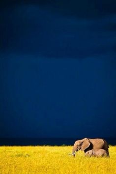 An African Elephant on the plains of Chad, Africa.