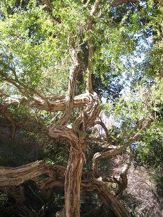 60 uses for tea tree oil