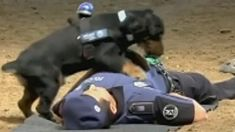 A valiant police dog in Spain showed off his first responder skills by performing CPR on an agent who played dead.