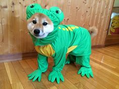 The mysterious Frog Shiba. How long would it take for Susan to eat this costume?
