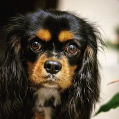 Cavalier King Spaniel, King Charles Spaniel, Cavalier King Charles, Cocker Spaniel, Dog Breath, Spaniels, Moustache, I Love Dogs, Animals And Pets