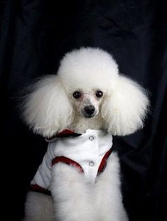 Back to school days has your fur friend experienced school days??? #poodle