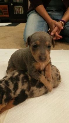 Miniature Pinscher Girl Blue & Tan Ready in Time for Christmas!