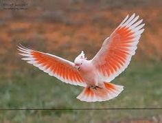 Image result for major mitchell's cockatoo