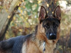I just entered to win a $100 Canna-Pet gift card!  What Can I Give My Dog for Fever? | Canna-Pet Dog Breeds List, Cute Dogs Breeds, Pet Breeds, Dog Buscuits, Photos Hd, Animal Agriculture, Animal Birthday, Find Pets, Animal Faces