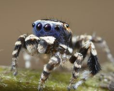 2015-07-29-20.56.57 ZS DMap | by Jurgen Otto Cool Bugs, Jumping Spider, Mosquitos, Amphibians, How To Do Yoga, Beautiful Creatures, Your Pet, The Incredibles, Cool Stuff