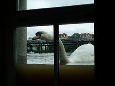 A swan takes a look inside a house during the June 2013 floods in Germany Posted by floodlist.com