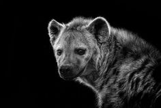 The hyena who never laughed.
