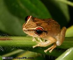 El coqui. Little frog who sings at night/
