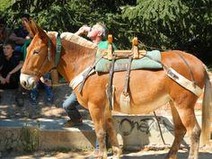Comtois mule