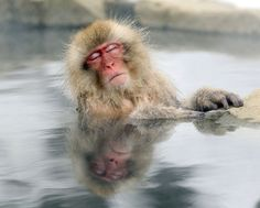 A Japanese snow monkey relaxed in a hot spring in the Jigokudani valley in northern Nagano Prefecture, Japan. (Nick Ut/Associated Press)