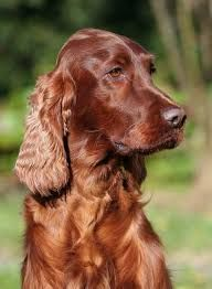 Sean & Irish Setter Sean & Irish Setter Source by pattersonla The post Sean & Irish Setter appeared first on McGregor Dogs. Puppy Names, Dog Names, Irish Setter Dogs, Red Setter Dog, Red Dog, Family Dogs, Beautiful Dogs, Large Dogs, Mans Best Friend