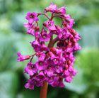 Deep magenta flowers in spring