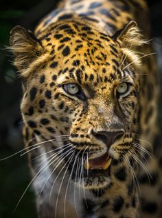 magicalnaturetour: Leopard by Juan Torres - La vie est belle Nature Animals, Animals And Pets, Cute Animals, Beautiful Cats, Animals Beautiful, Big Cats, Cats And Kittens, Jaguar Animal, Gato Grande