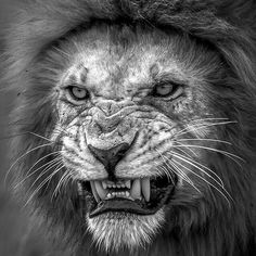 Don't mess with the fierce Lion Lion And Lioness, Lion Of Judah, Fierce Lion, Regard Animal, Animals And Pets, Cute Animals, Lion Tattoo Design, Lion Love, Lion Wallpaper