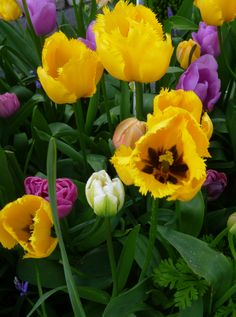 Tulips - Morgan's Garden Centre