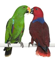Two #EclectusParrots enjoying a moment together.