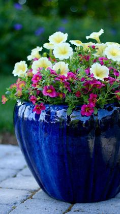 Remember to keep your container in mind when creating garden containers. Here, 'Aloha' is perfect for this cobalt blue container, with our Supertunia Limoncello and bright pinks...