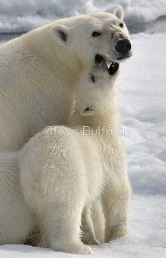 ~~Polar Love ~ polar bear cub shows mum some tender love by Steve Bulford~~ Animals And Pets, Baby Animals, Cute Animals, Baby Giraffes, Wild Animals, Amazing Animals, Animals Beautiful, Bear Cubs, Polar Bears