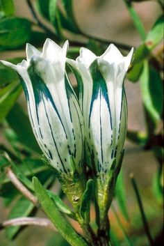 Gentiana purdomii in Flora of China @ efloras.org Rare Orchids, Rare Flowers, Exotic Flowers, Tropical Flowers, Wild Flowers, Indoor Flowers, Flowering Trees, Beautiful Roses, Amazing Gardens