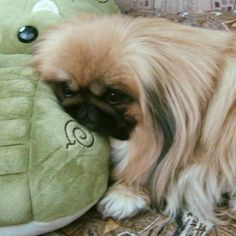 Good night all! Pekes can sleep in any position!